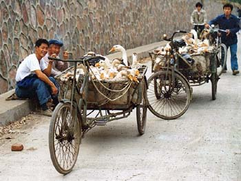 Duck Transport in China
