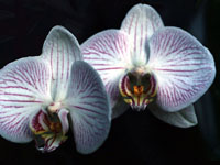 A Phalaenopsis Orchid photographed in Guatemala, Central America